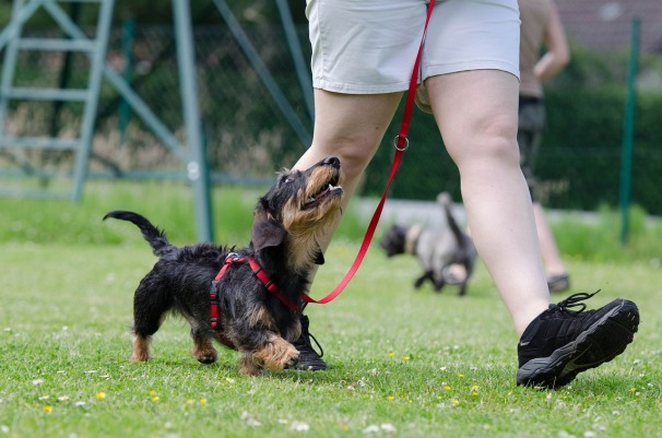 dachshund-Training.jpg